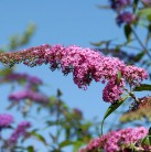Sommerflieder Pink Spread 80-100cm - Buddleja
