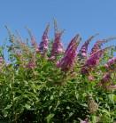 Schmetterlingsflieder Reve de Papillon Pink 40-60cm - Buddleja