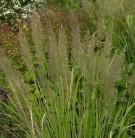 Diamant Reitgras - großer Topf - Calamagrostis brachytricha