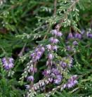 10x Besenheide Kuphaldtii - Calluna vulgaris