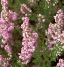 10x Besenheide Rote Mullion - Calluna vulgaris