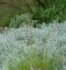 Sand Segge Jenneke - Carex arenarius