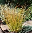 Neuseeland Segge Prairie Fire - großer Topf - Carex testacea