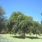Hänge Hainbuche 80-100cm - Carpinus betulus