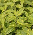 Bartblume Lemon and Lime 30-40cm - Caryopteris
