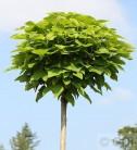 Hochstamm Trompetenbaum 80-100cm - Catalpa bignonioides