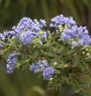 Säckelblume Puget Blue 30-40cm - Ceanothus impressus