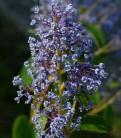 Säckelblume Marie Bleu® 40-60cm - Ceanothus pallidus