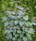 Judasblattbaum 40-60cm - Cercidiphyllum japonicum