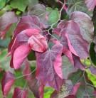 Hochstamm Roter Judasbaum Forest Pansy 100-125cm - Cercis canadensis