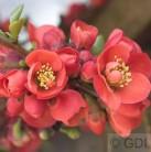 Zierquitte Cido Red 40-60cm - Chaenomeles