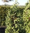 Gelbe Gartenzypresse Kelleriis Gold 40-50cm - Chamaecyparis lawsoniana