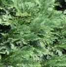 Hochstamm Scheinzypresse Nidiformis 80-100cm - Chamaecyparis lawsoniana