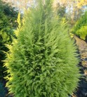 Garten Zypresse Sunny Smile 40-50cm - Chamaecyparis lawsoniana