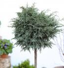 Hochstamm Kissenzypresse Caesia 40-60cm - Chamaecyparis lawsoniana