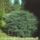 Kissenzypresse Caesia 20-25cm - Chamaecyparis lawsoniana