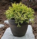 Breite Kissenzypresse Kamarachiba 30-40cm - Chamaecyparis obtusa