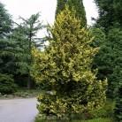 Zwerg Hinoki Scheinzypresse 40-50cm - Chamaecyparis obtusa