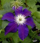 Waldrebe The Vagabond 60-80cm - Clematis