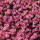 Mädchenauge Pink Lady - großer Topf - Coreopsis verticillata
