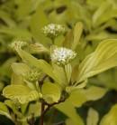 Hochstamm Gold Hartriegel Aurea 80-100cm - Cornus alba