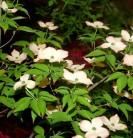 Hartriegel Blooming Pink Tetra 40-60cm - Cornus kousa