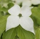 Japanischer Blumenhartriegel Teutonia 40-60cm - Cornus kousa