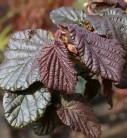 Haselnussstrauch Waldhasel Annys Purple Dream 40-60cm - Corylus avellana