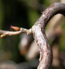 Haselnuß Medusa® 30-40cm - Corylus avellana