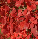 Perückenstrauch Flamissimo 40-60cm - Cotinus coggygria