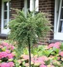 Hochstamm Kompaktwachsender Cotoneaster 80-100cm - Cotoneaster congestus