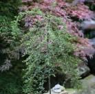 Hochstamm Zwergmispel Eichholz 40-60cm - Cotoneaster dammeri