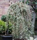 Hochstamm Mispel Juliette 80-100cm - Cotoneaster dammeri