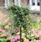 Hochstamm Kriechmispel Streibs Findling 80-100cm - Cotoneaster dammeri