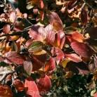 Glänzende Zwergmispel 80-100cm - Cotoneaster lucidus