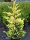 Baumzypresse Tweeduizendeen 40-60cm - Cupressocyparis leylandii