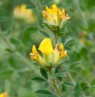 Alpen Ginster 20-30cm - Cytisus falcatus