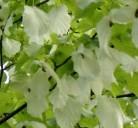 Taubenbaum Taschentuchbaum Somoma 80-100cm - Davidia involucrata