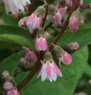 Maiblumenstrauch Codsall Pink 60-80cm - Deutzia scabra