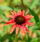 Sonnenhut Hot Lava - großer Topf - Echinacea purpurea
