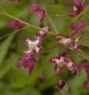 Elfenblume rot - Epimedium rubrum