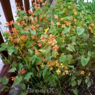 Elfenblume Orangekönigin - großer Topf - Epimedium warleyense