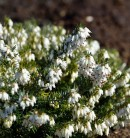 10x Winterheide Weiße Perle - Erica carnea