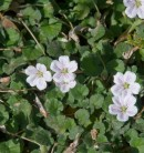 Reiherschnabel - Erodium reichardii