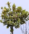 Hochstamm Goldbunte Kriechspindel 80-100cm - Euonymus fortunei