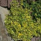 10x Kriechspindel GaiGo 15-20cm - Euonymus fortunei