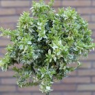 Hochstamm Kriechspindel Harlequin 80-100cm - Euonymus fortunei