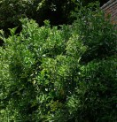 Japanischer Spindelstrauch 100-125cm - Euonymus japonicus