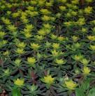 Gold Wolfsmilch Bonfire - Euphorbia polychroma