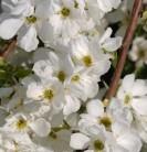 Sparrige Prunkspiere Lotus Moon® 60-80cm - Exochorda racemosa